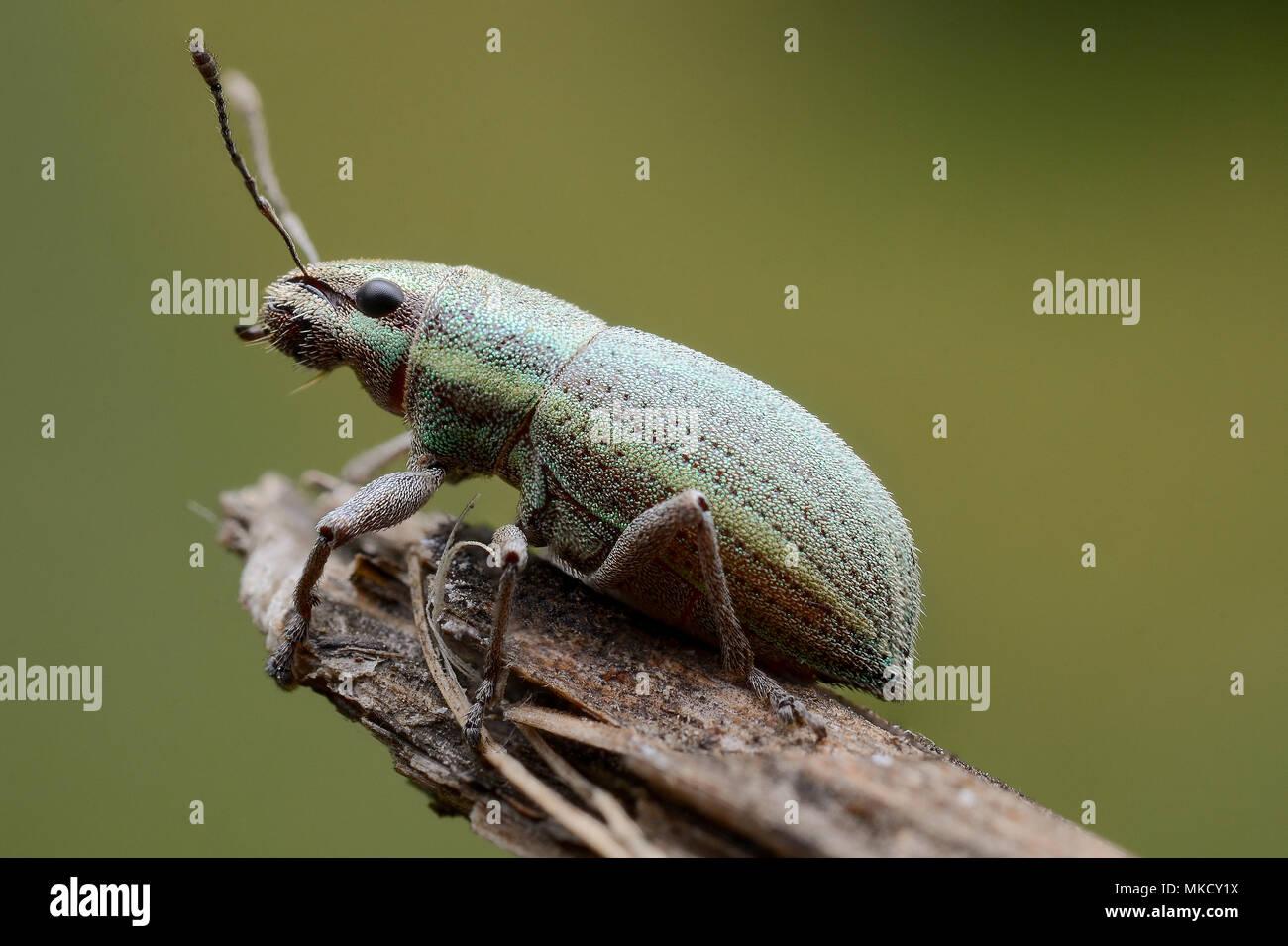 Curculionidae - Stock Image