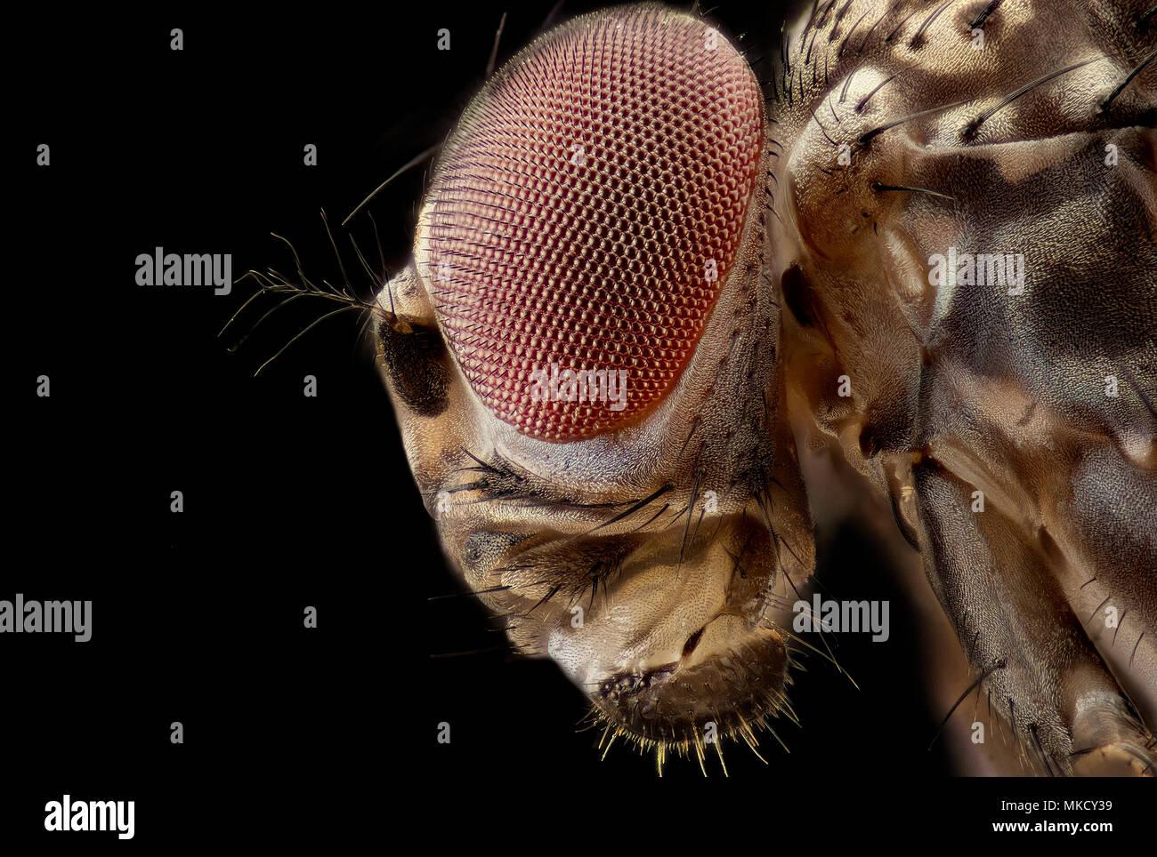 Drosophila melanogaster - fruit fly Stock Photo