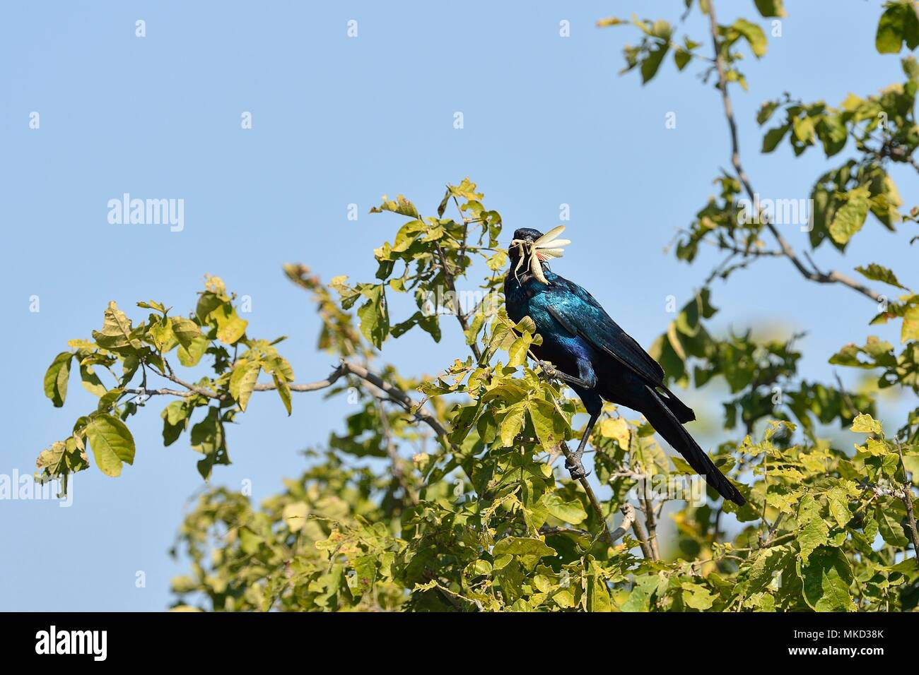 Burchell's Starling (Lamprotornis australis) on a branch with insect in beak, Botswana - Stock Image