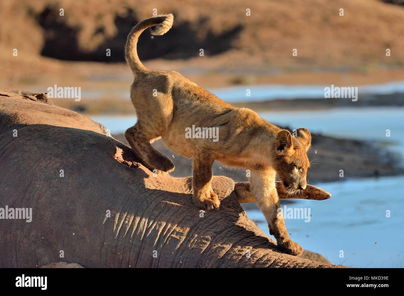 Lion (Panthera leo) Lion cub on an elephant carcass, Botswana - Stock Image