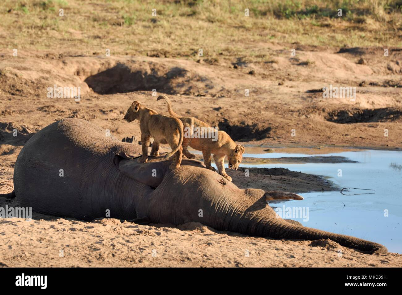 Lion (Panthera leo) Lion cubs on an elephant carcass, Botswana - Stock Image