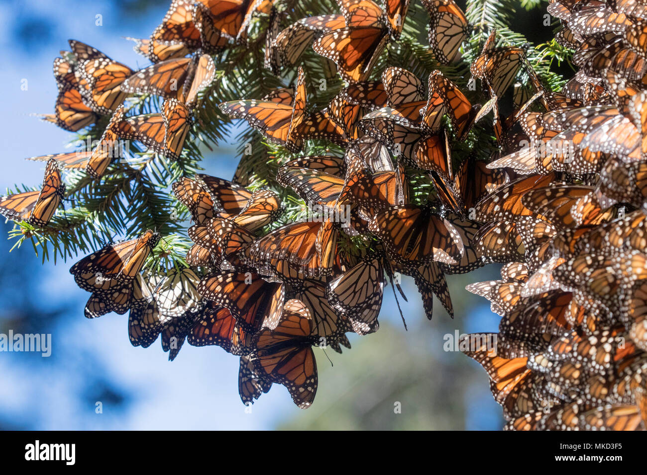 Monarch Butterfly Danaus Plexippus In Wintering From November To