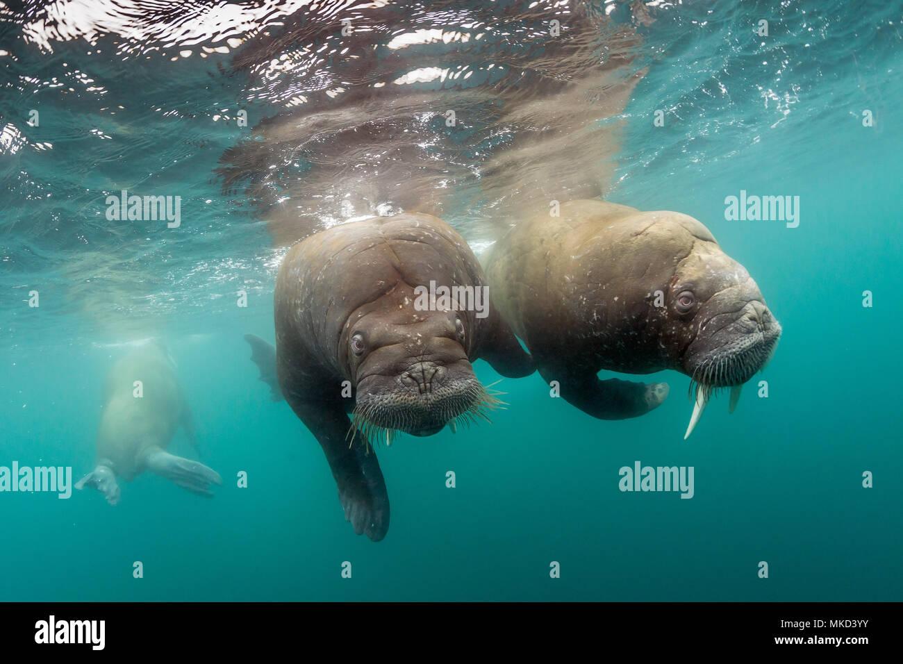 Pair of Atlantic walrus (Odobenus rosmarus), Spitsbergen, Svalbard, Norwegian archipelago, Norway, Arctic Ocean - Stock Image