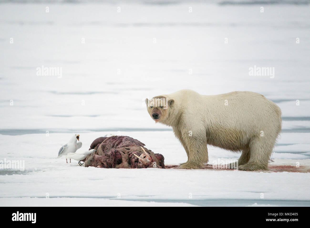 Polar bear (Ursus maritimus) eating a walrus (Odobenus rosmarus), on the ice, Spitsbergen, Svalbard, Norwegian archipelago, Norway, Arctic Ocean Stock Photo