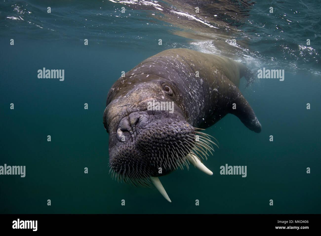 Atlantic walrus (Odobenus rosmarus), Spitsbergen, Svalbard, Norwegian archipelago, Norway, Arctic Ocean - Stock Image