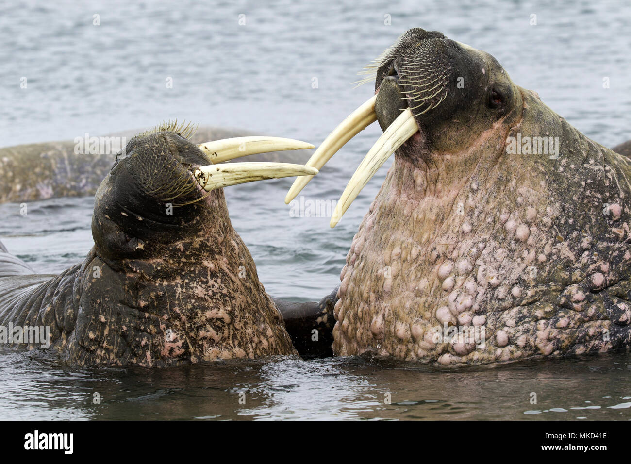 Pair of Atlantic walrus (Odobenus rosmarus), one adult and one younger playing with their tusks, Vulnerable (IUCN), Spitsbergen, Svalbard, Norwegian archipelago, Norway, Arctic Ocean Stock Photo