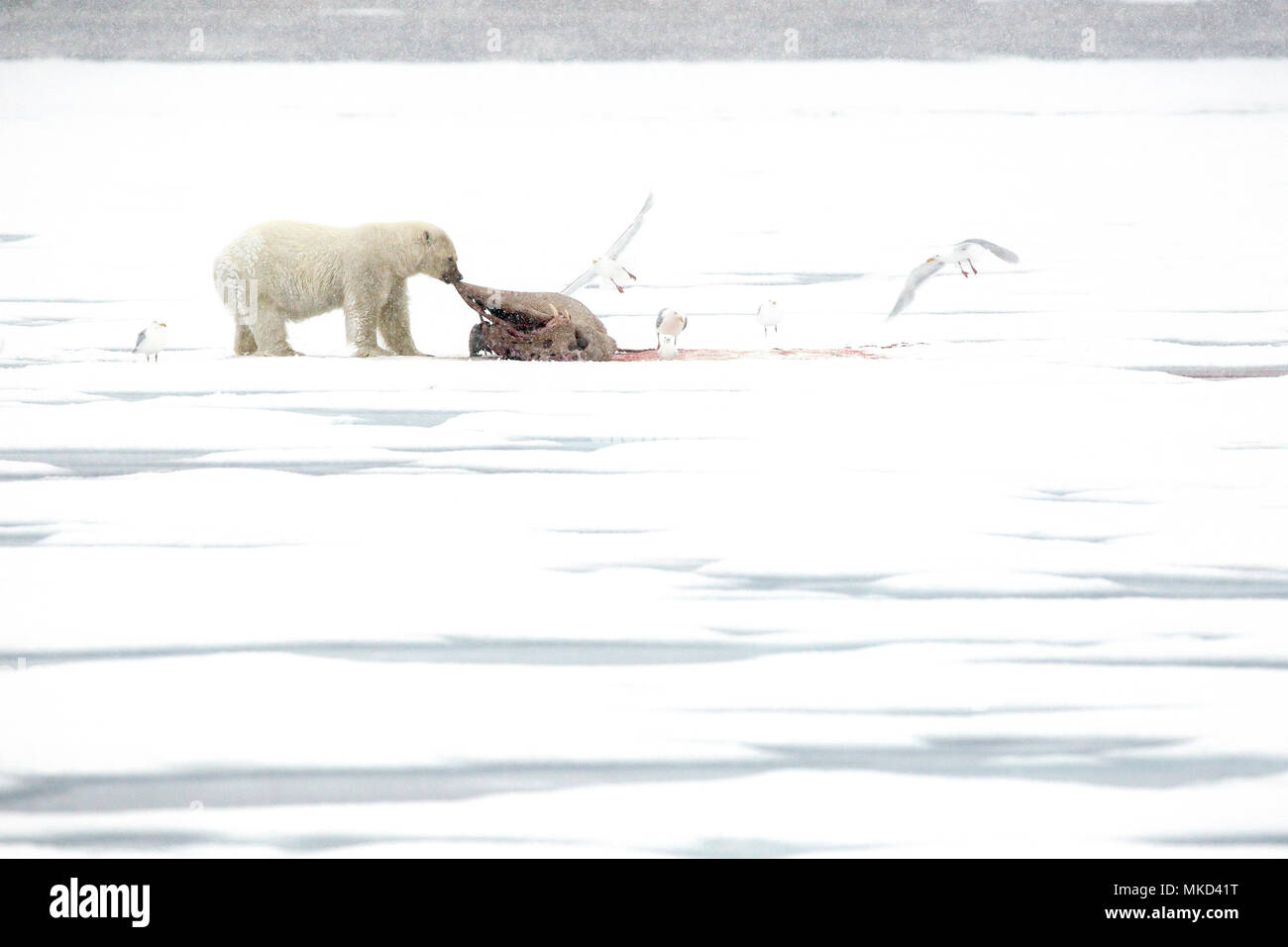 Polar bear (Ursus maritimus) eating a walrus (Odobenus rosmarus), on the ice, Spitsbergen, Svalbard, Norwegian archipelago, Norway, Arctic Ocean - Stock Image
