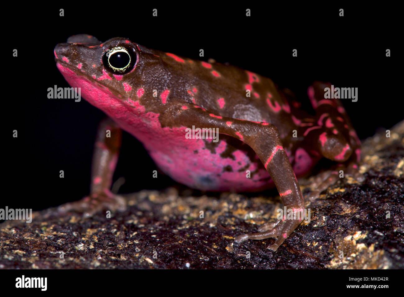 Purple harlequin Toad (Atelopus spumarius barbotini) - Stock Image