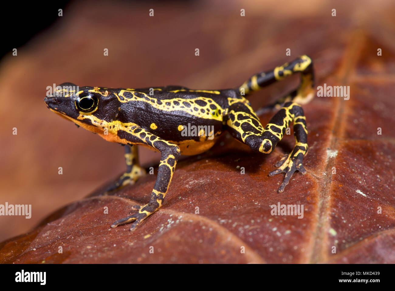 Pebas Stubfoot toad (Atelopus spumarius) - Stock Image