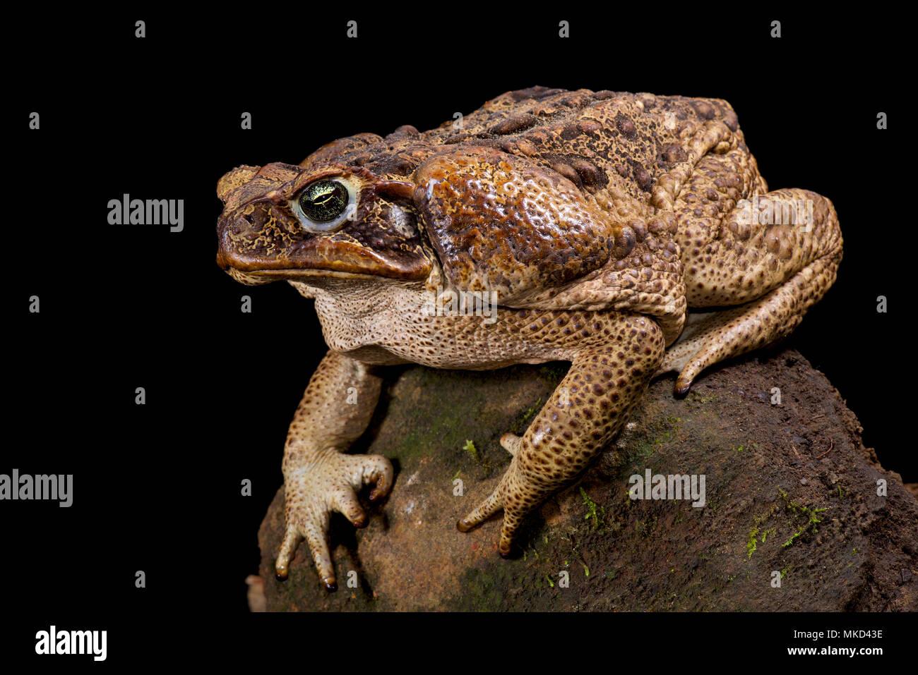 Giant toad (Rhinella marina) - Stock Image