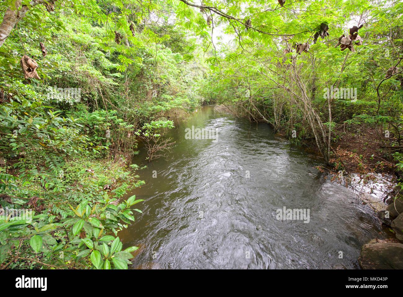 Prime habitat of Atelopus toads., rainforest stream, Suriname - Stock Image