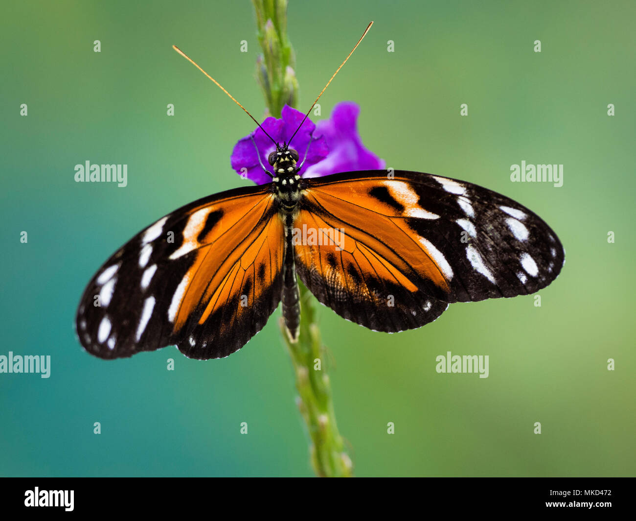 Heliconia spp. butterfly on verbena flower, Gamboa, Panama, february - Stock Image