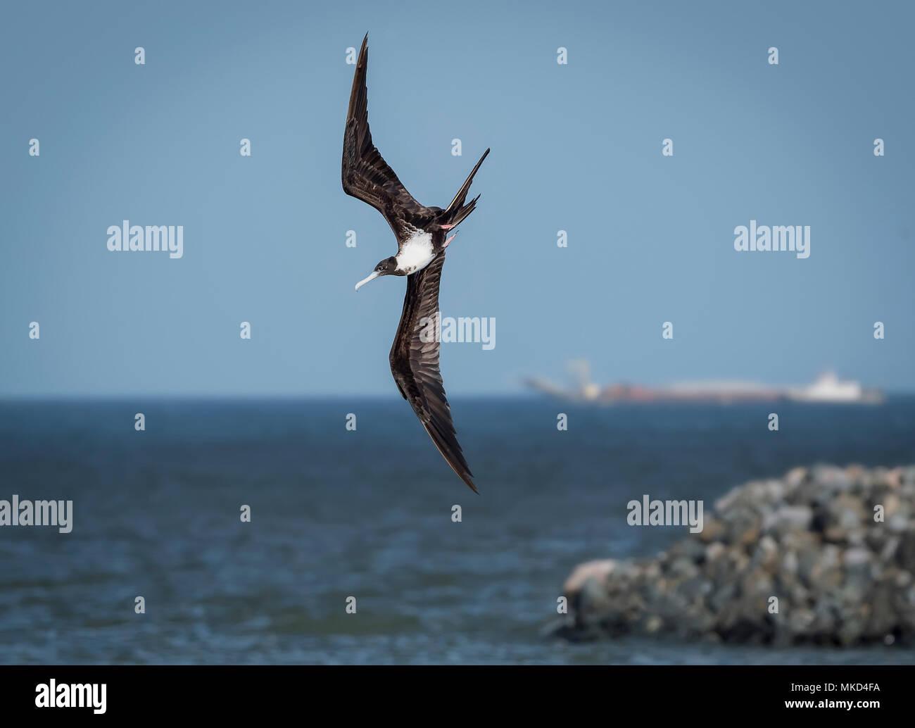 Magnificent Frigatebird (Fregata magnificens), female banking over sea, Panama City, Panama, March - Stock Image