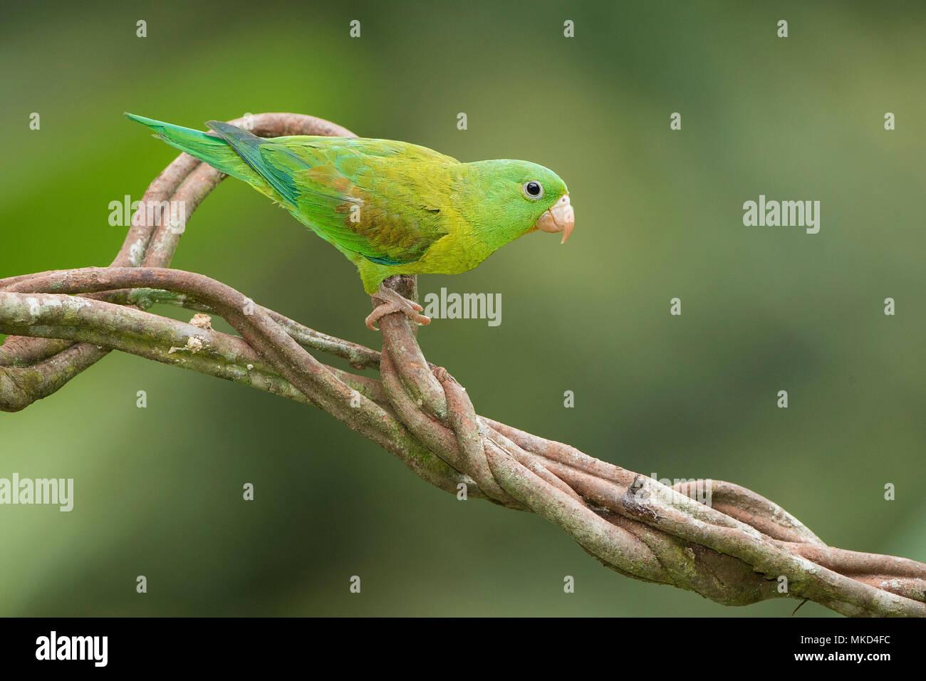 Orange-chinned Parakeet (Brotogeris jugularis), Gamboa, Panama, November Stock Photo