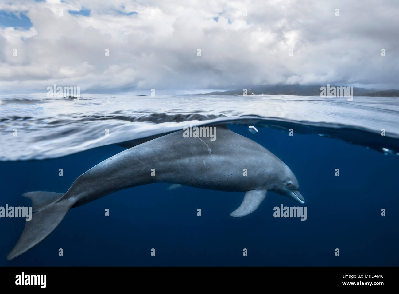 Indian Ocean bottlenose dolphin (Tursiops aduncus) in the lagoon, Mayotte, Indian Ocean - Stock Image
