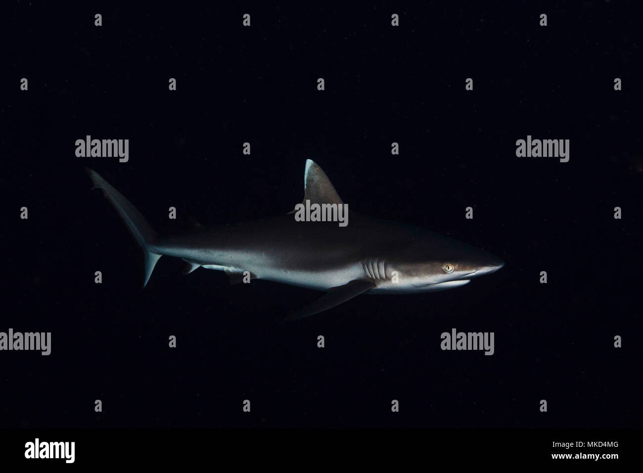 Grey reef shark (Carcharhinus amblyrhynchos) found at 60 m depth in the S. Mayotte Pass, Indian Ocean - Stock Image