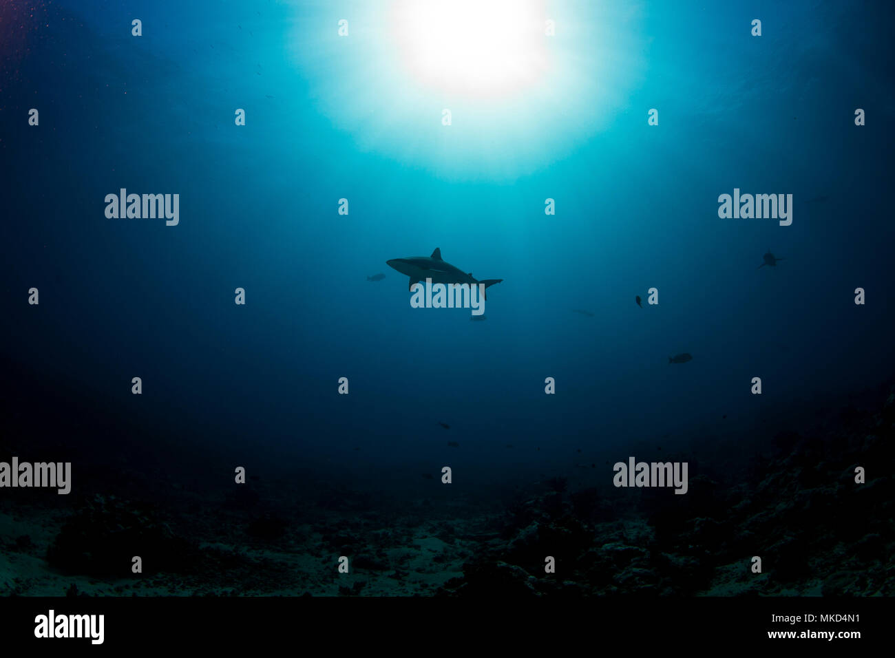 Low angle view Grey Reef Shark against the light (Carcharhinus amblyrhynchos), Tahiti, French Polynesia - Stock Image