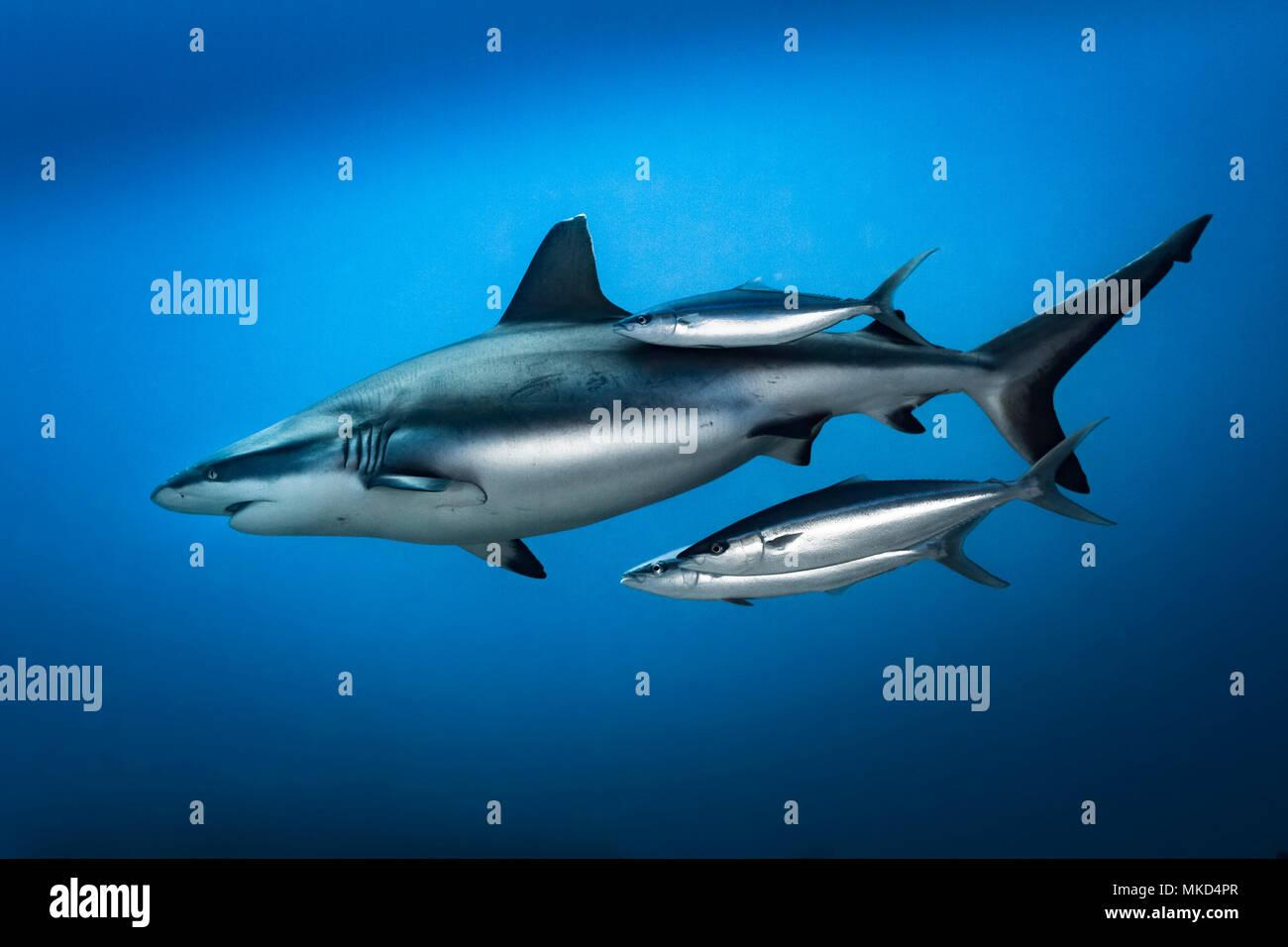 Left side view Grey Shark (Carcharhinus amblyrhynchos) with Rainbow Runners (Elagatis bipinnulata), Tahiti, French Polynesia - Stock Image