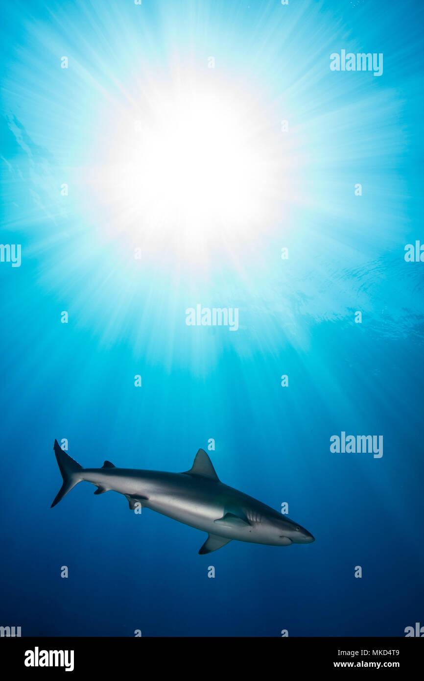Right side view Grey reef shark (Carcharhinus amblyrhynchos) in the Sun, Tahiti, French Polynesia Stock Photo