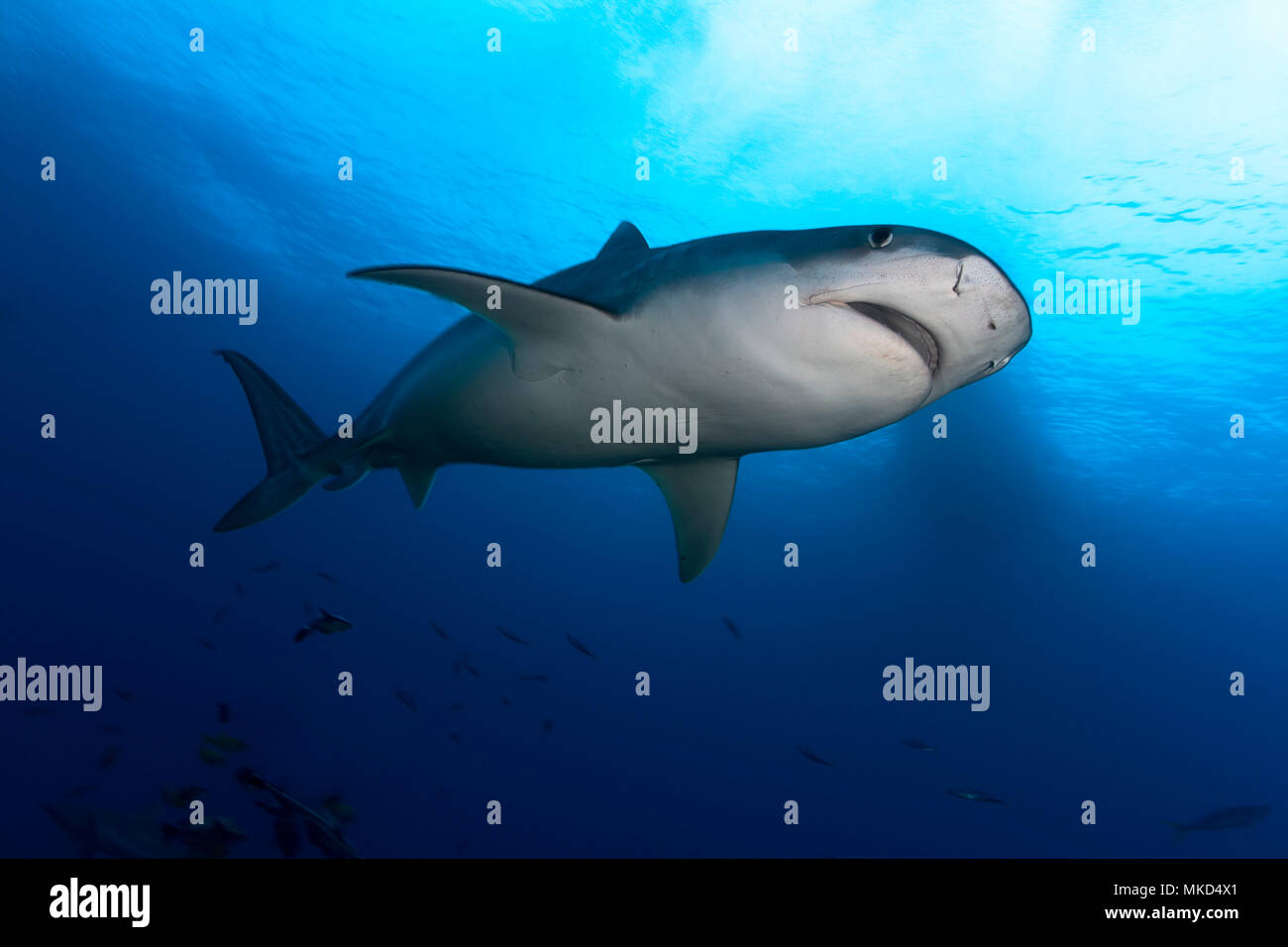 Downside view Tiger Shark (Galeocerdo cuvier), Tahiti, French Polynesia - Stock Image