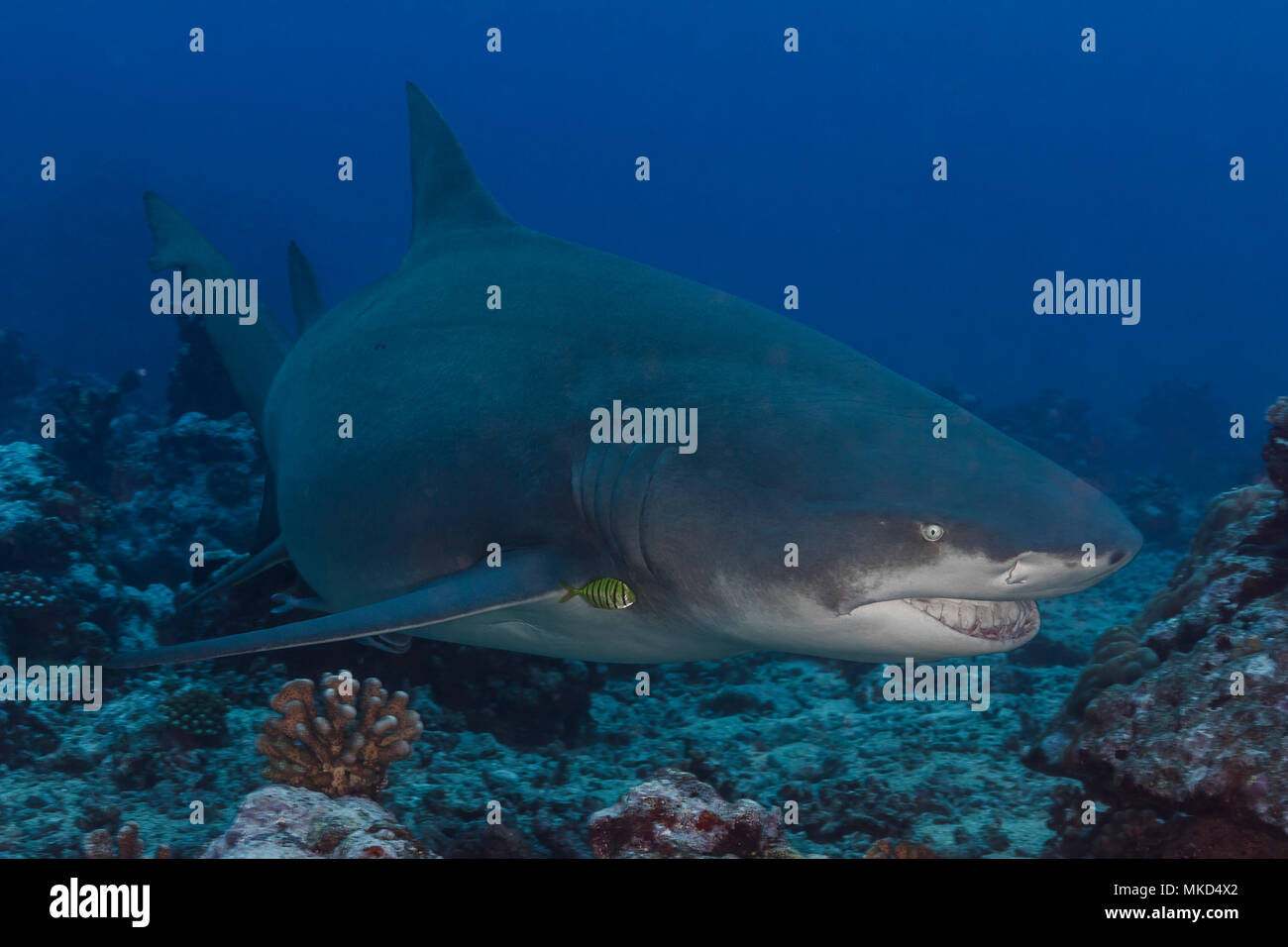 Front right view female pregnant Sicklefin lemon shark (Negaprion acutidens), Tahiti, Polynesie - Stock Image