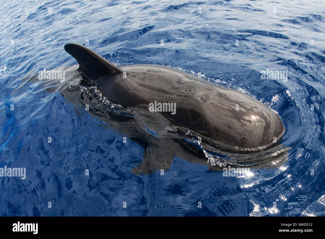 Pilot whale (Globicephala macorhynchus) on surface. Tenerife, Canary Islands. - Stock Image