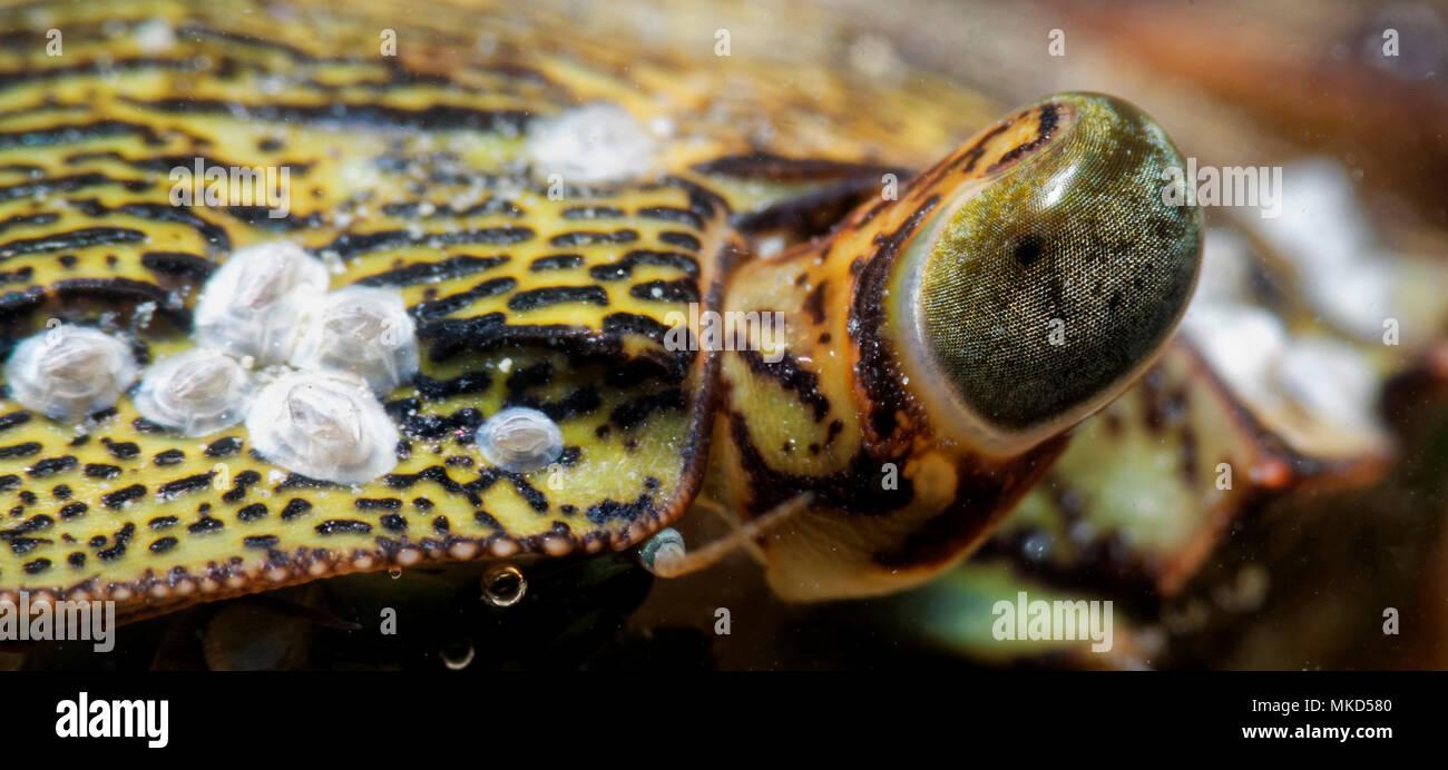 Marbled rock Crab (Pachygrapsus marmoratus) detail, Around the Island of Oleron, Atlantic Ocean, France - Stock Image