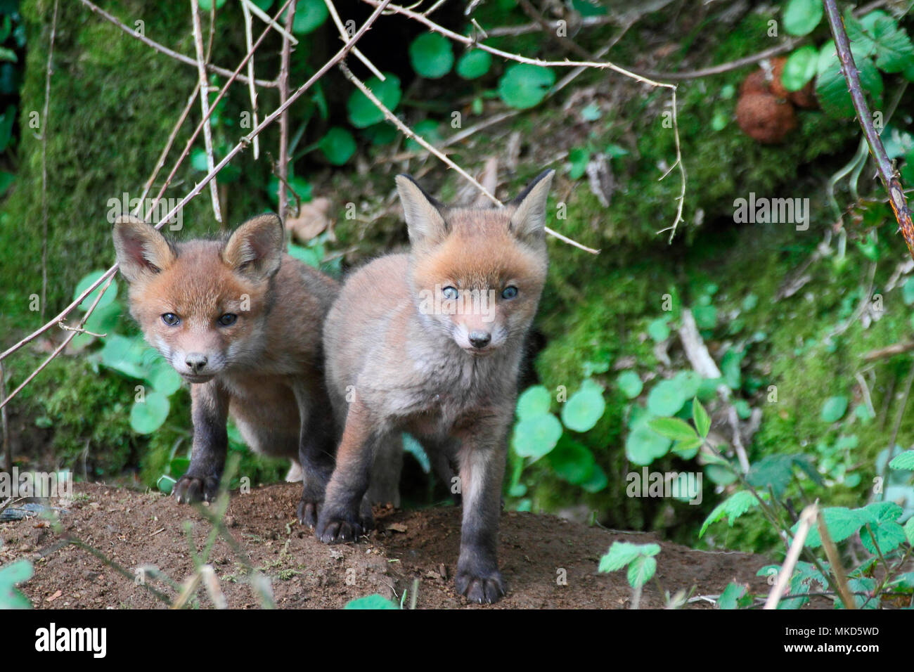 Red fox (Vulpes vulpes) youngs about 5 weeks old out of the burrow, Brittany, France - Stock Image