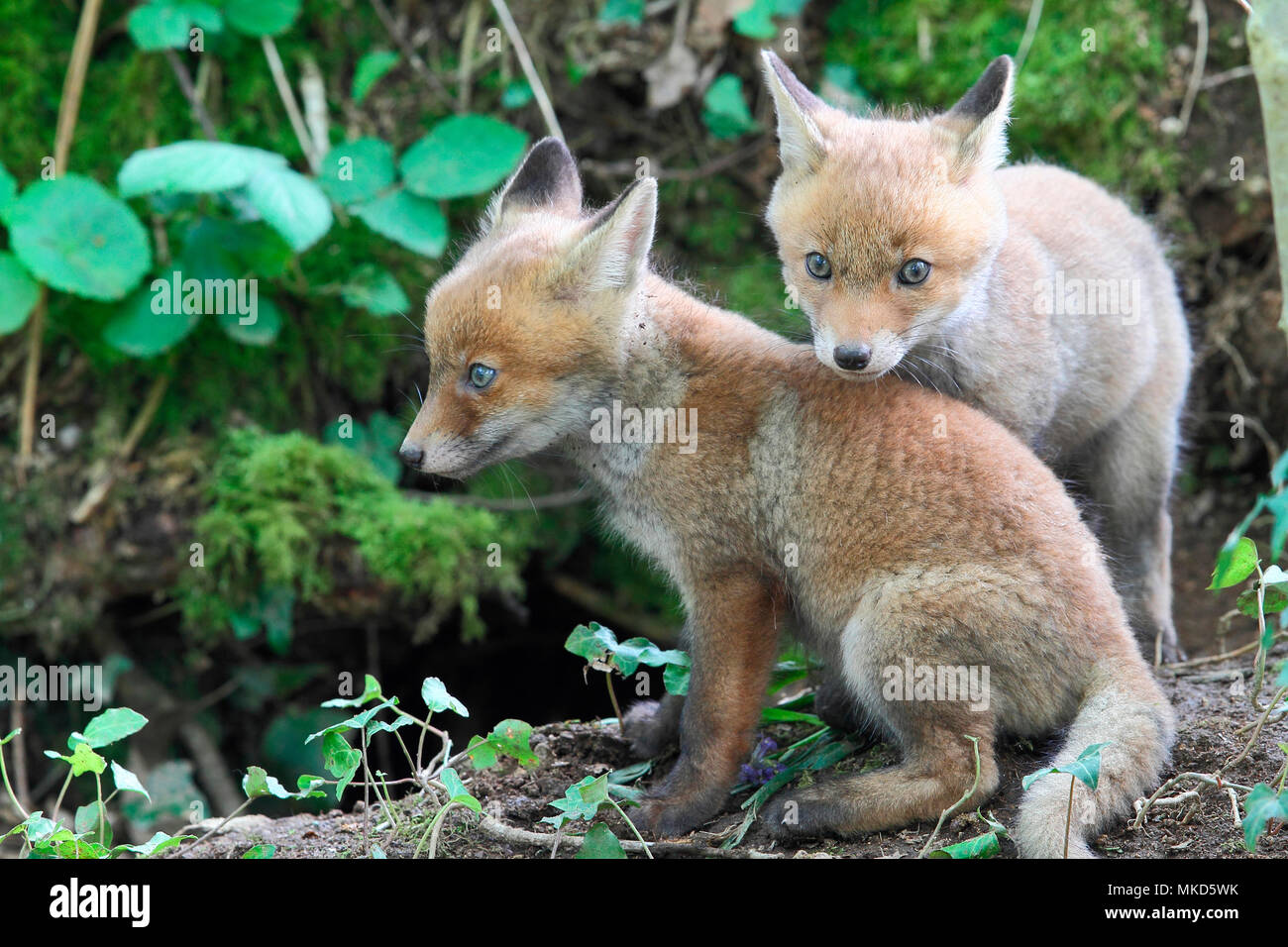 Red fox (Vulpes vulpes) youngs about 5 weeks old playing near the burrow, Brittany, France - Stock Image