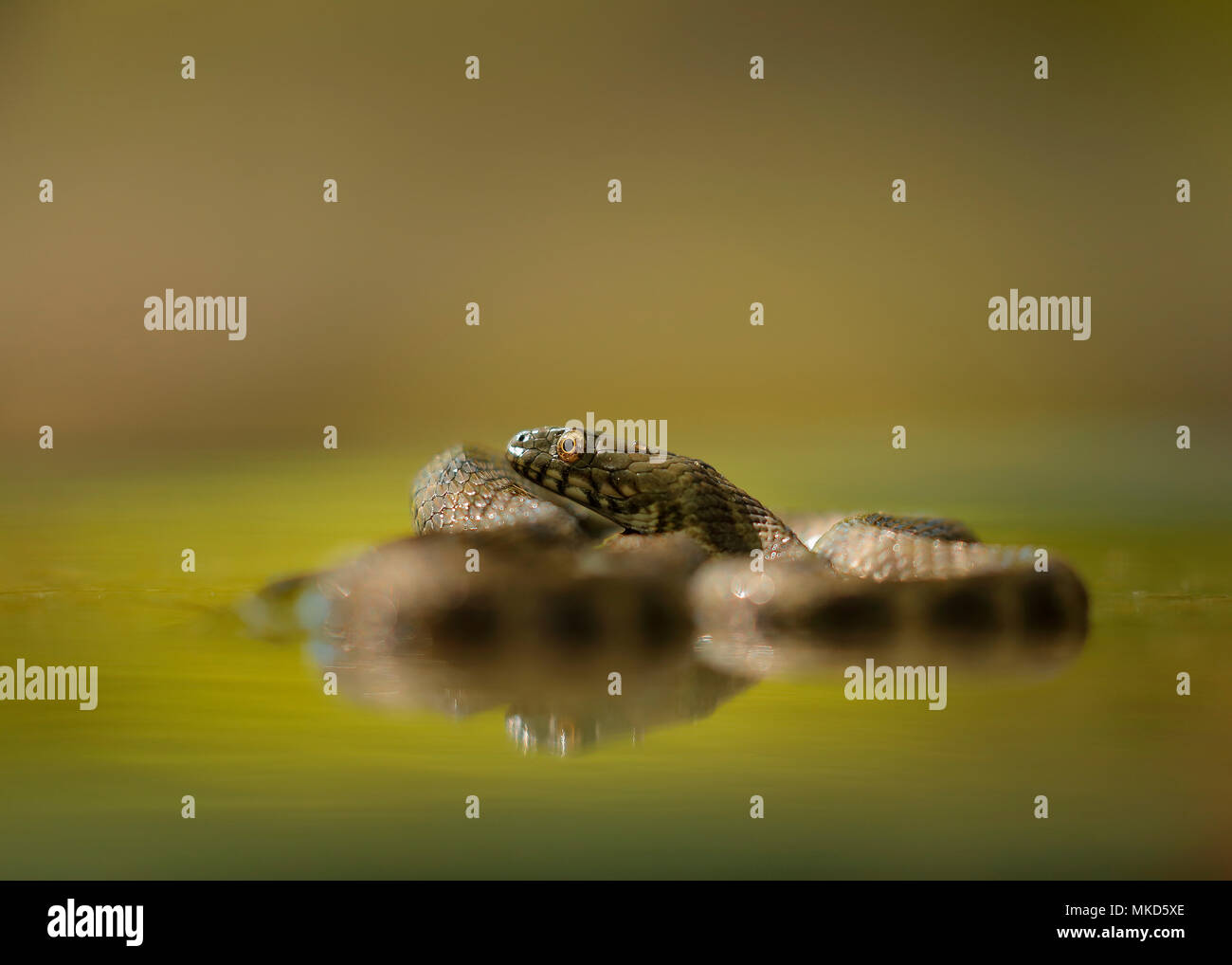 Dice snake (Natrix tessellata) in water, Bulgaria - Stock Image