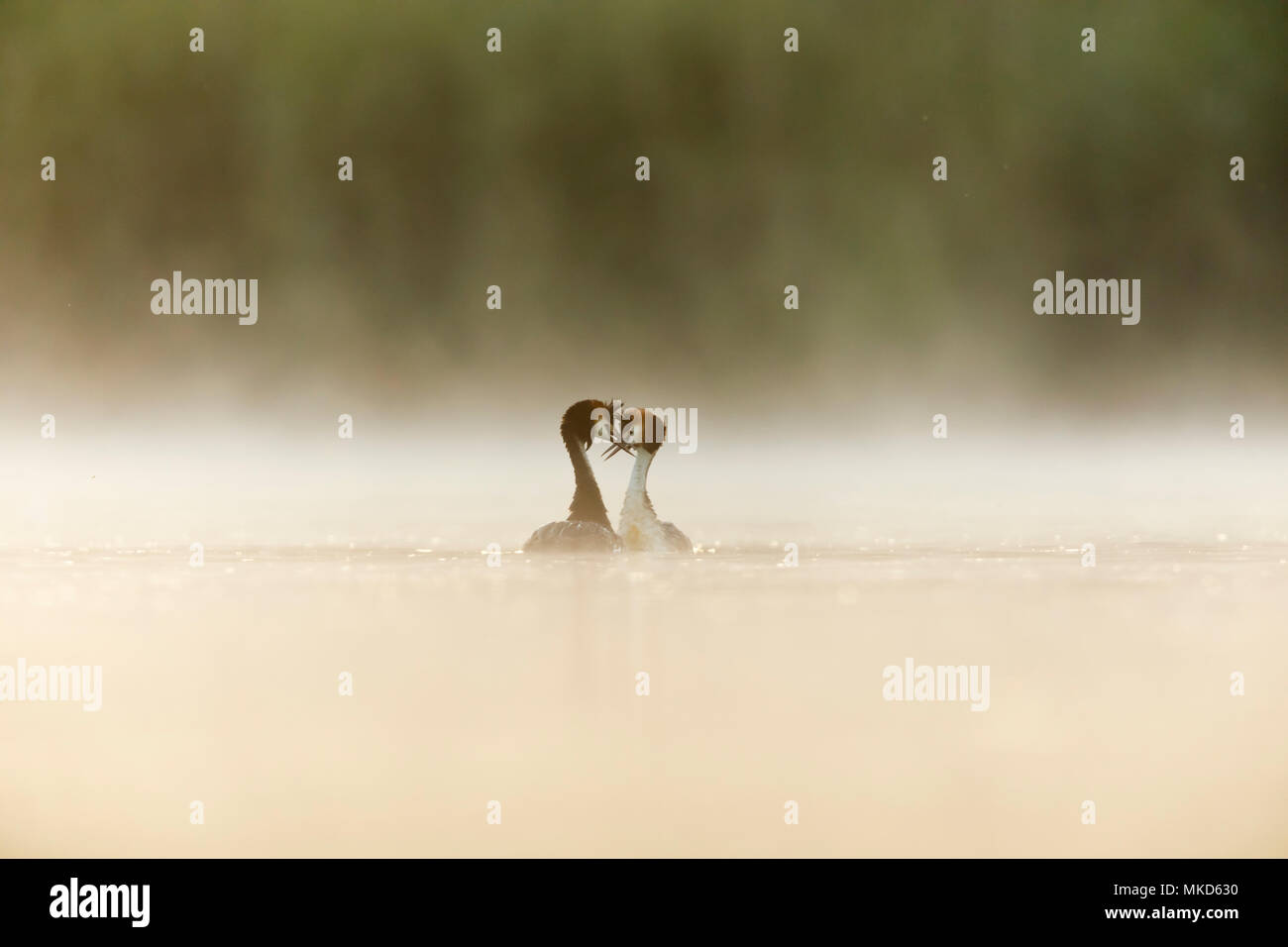 Pair of Great crested grebes (Podiceps cristatus) displaying on water in the mist at dawn, Dombes, France - Stock Image
