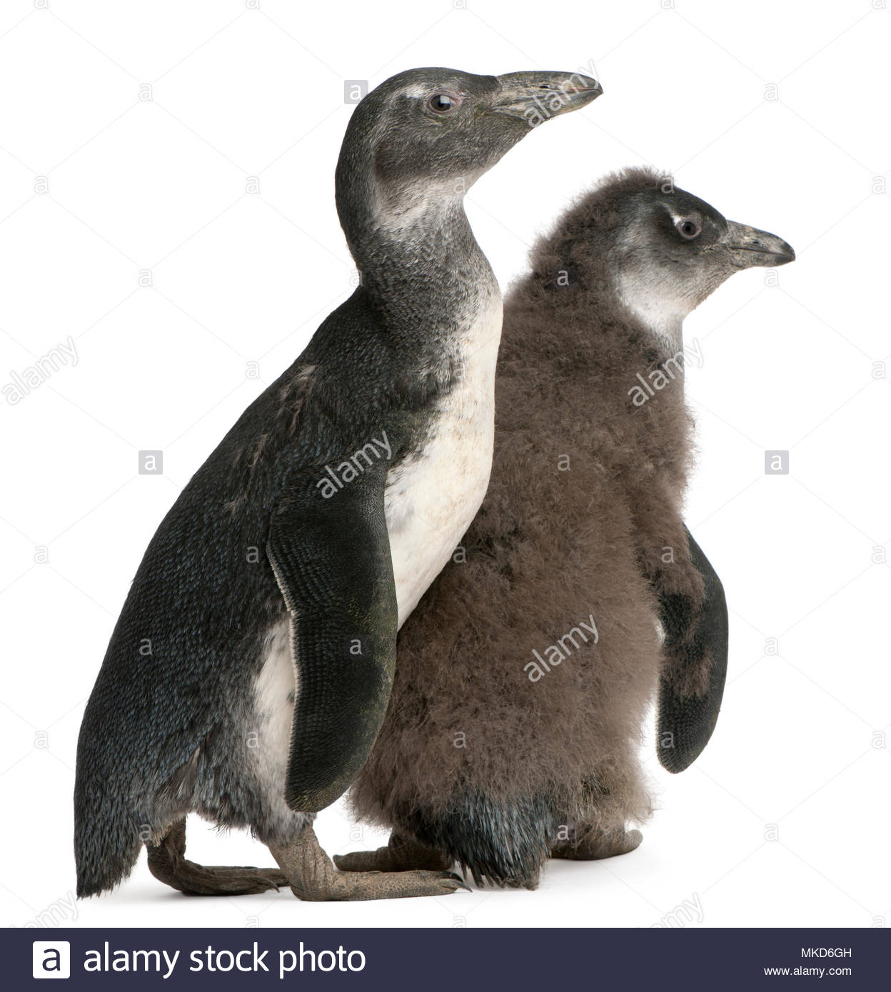 Young African Penguin, (Spheniscus demersus), 3 and 2 months old, in front of white background Mulhouse Zoological and Botanical Park, France - Stock Image