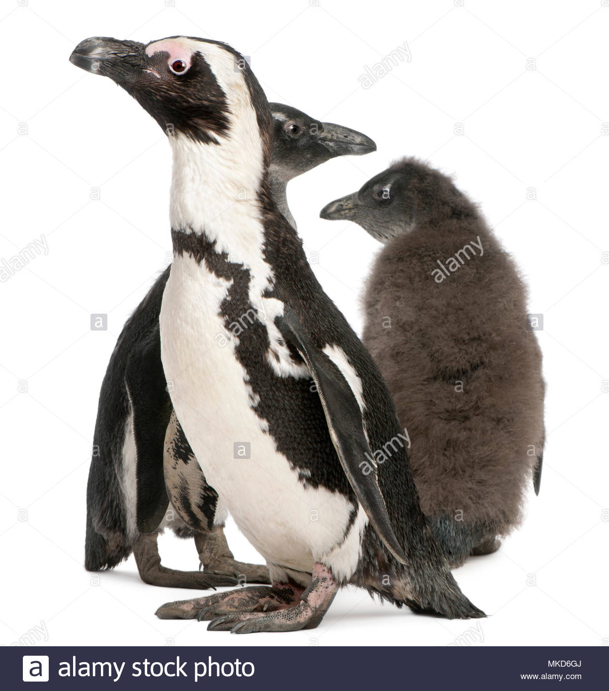 African Penguin, (Spheniscus demersus), 10 years old and 3 and 2 months old, in front of white background Mulhouse Zoological and Botanical Park, France - Stock Image