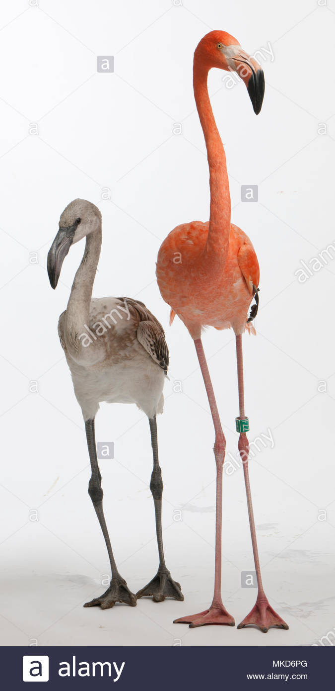 Greater Flamingo, (Phoenicopterus roseus), 8 months old, and American Flamingo, (Phoenicopterus ruber), 10 years old, in front of white background Mulhouse Zoological and Botanical Park, France - Stock Image