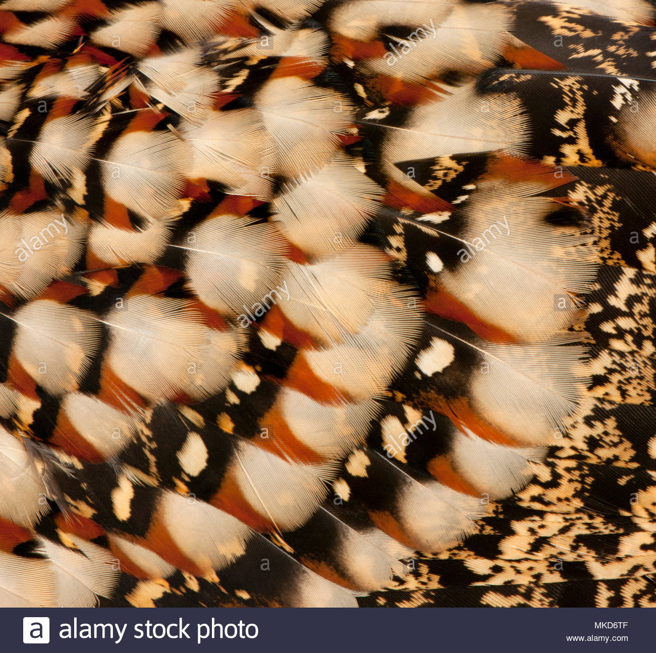 Close-up of Cabot's Tragopan feathers, (Tragopan caboti) Mulhouse Zoological and Botanical Park, France - Stock Image