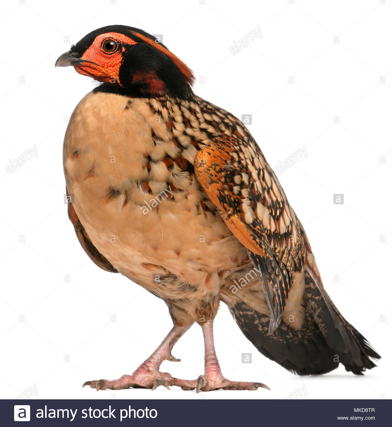 Cabot's Tragopan, (Tragopan caboti), standing in front of white background Mulhouse Zoological and Botanical Park, France - Stock Image