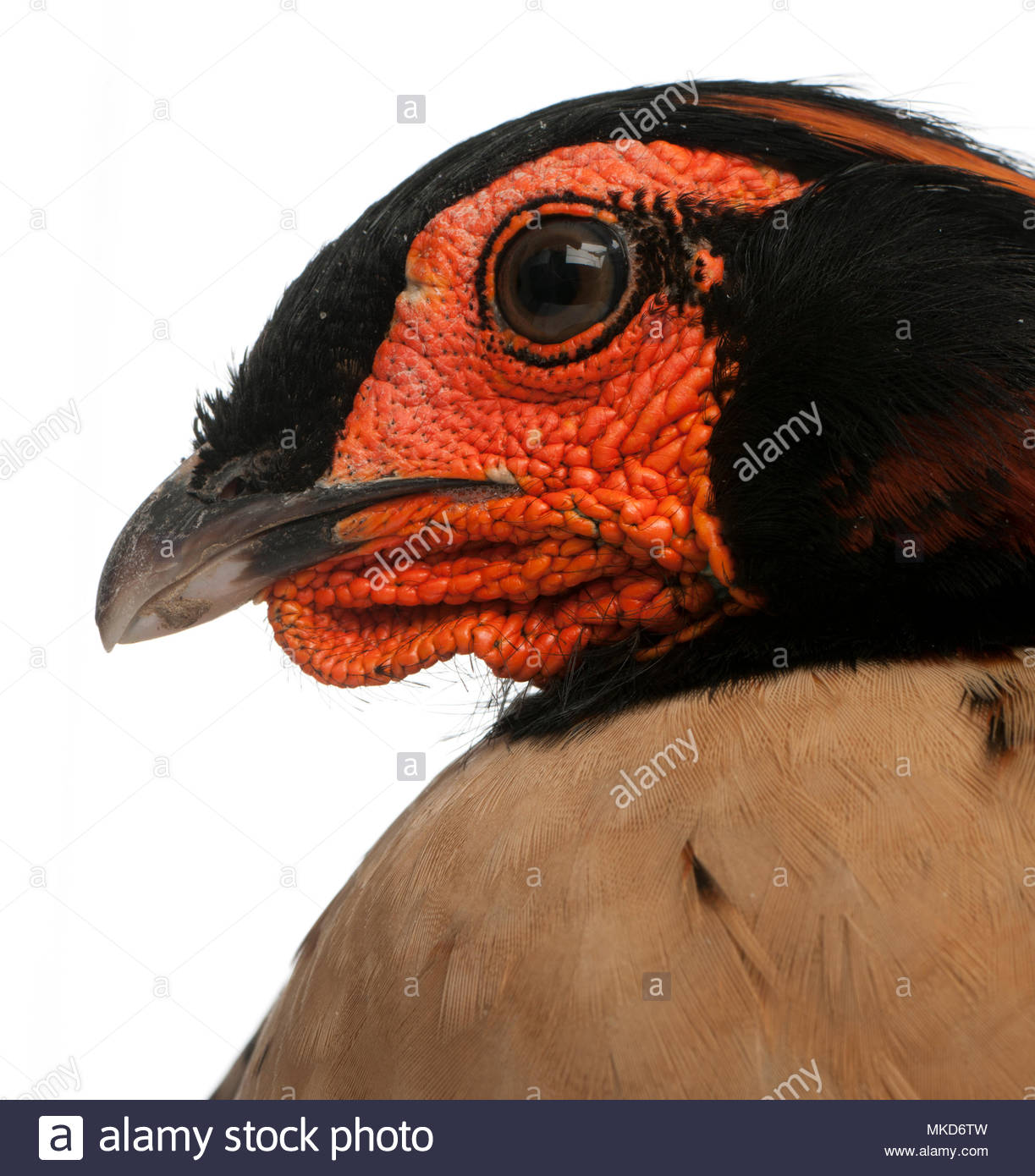 Close-up of Cabot's Tragopan, (Tragopan caboti), in front of white background, Mulhouse Zoological and Botanical Park, France - Stock Image