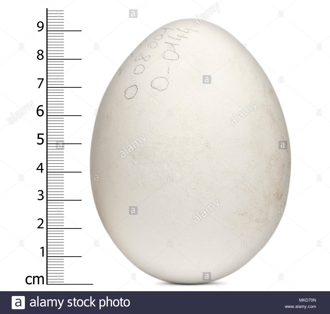 Egg of Griffon Vulture, (Gyps fulvus), in front of white background, Mulhouse Zoological and Botanical Park, France - Stock Image