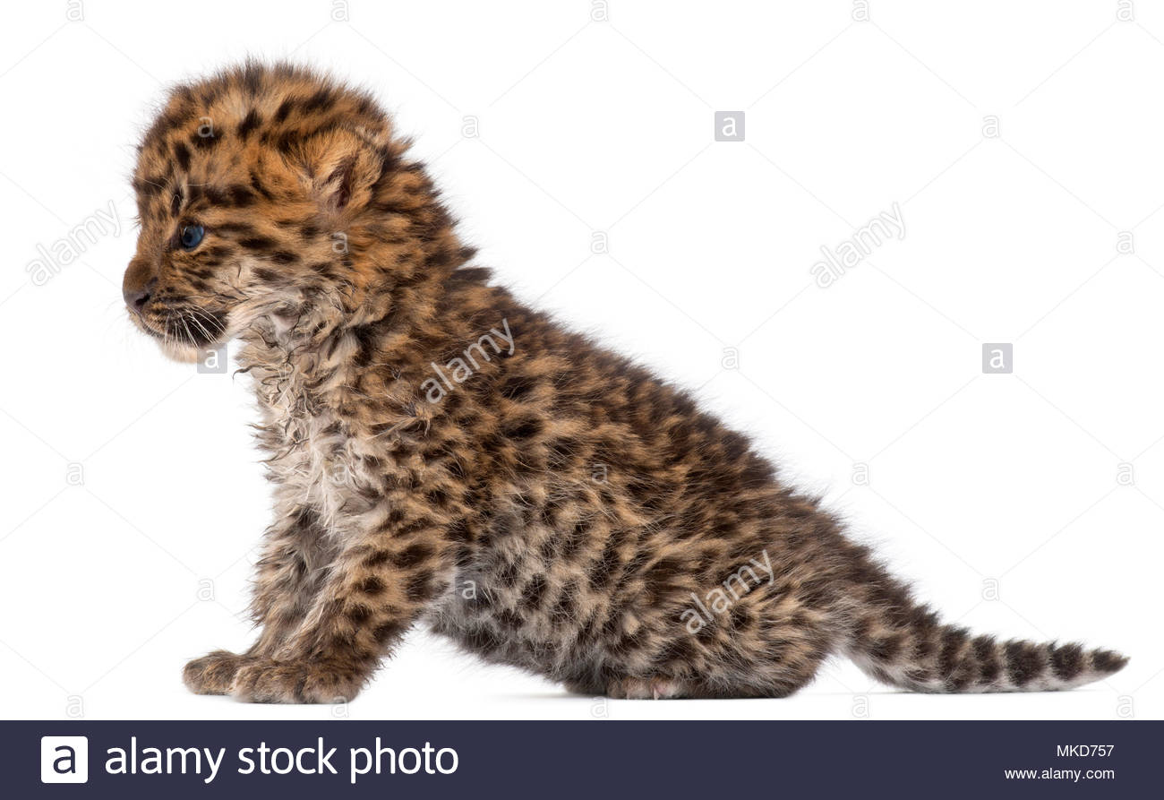 Amur leopard cub, (Panthera pardus orientalis), 6 weeks old sitting in front of white background, Mulhouse Zoological and Botanical Park, France - Stock Image