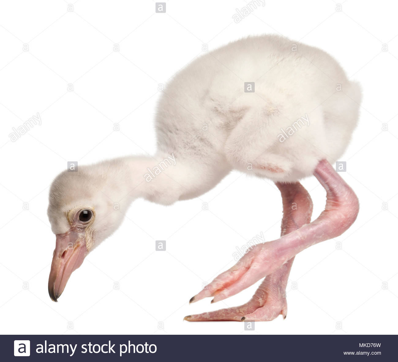 Greater Flamingo, (Phoenicopterus roseus), 14 days old, in front of white background, Mulhouse Zoological and Botanical Park, France Stock Photo