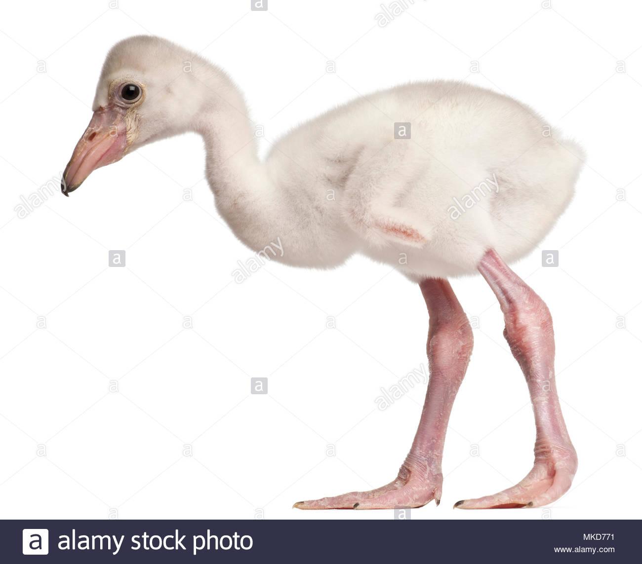 Greater Flamingo, (Phoenicopterus roseus), 14 days old, in front of white background, Mulhouse Zoological and Botanical Park, France - Stock Image