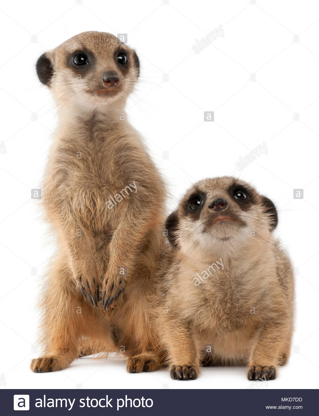 Meerkat or Suricate, (Suricata suricatta), babies, in front of white background Mulhouse Zoological and Botanical Park, France - Stock Image