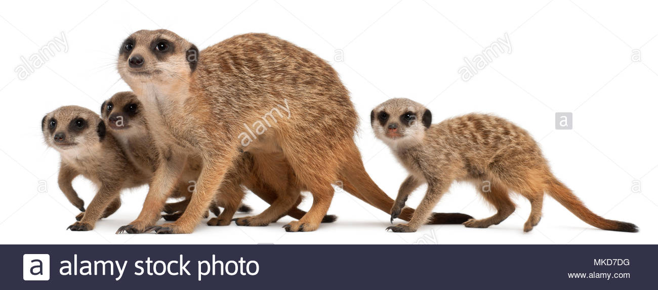 Meerkat or Suricate, (Suricata suricatta), mother and her babies, in front of white background Mulhouse Zoological and Botanical Park, France Stock Photo