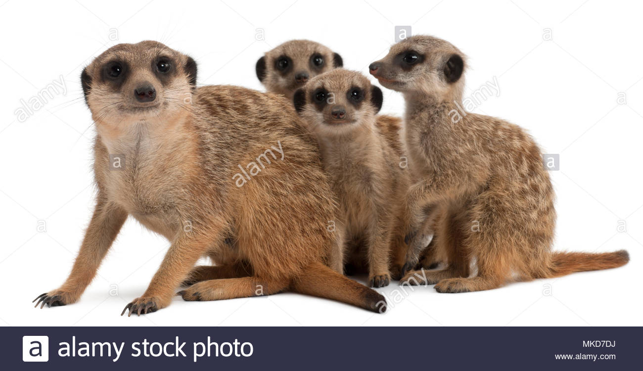 Meerkat or Suricate, (Suricata suricatta), mother and her babies, in front of white background Mulhouse Zoological and Botanical Park, France - Stock Image