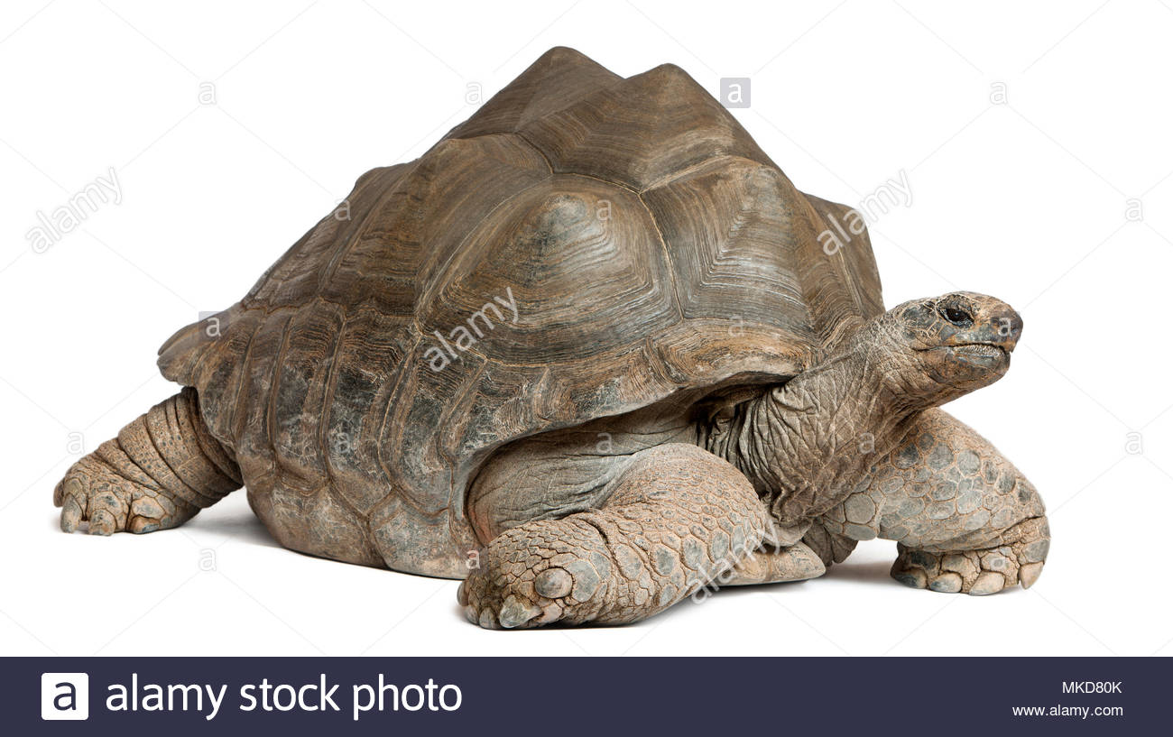 Aldabra giant tortoise, (Aldabrachelys gigantea), 44 years old, in front of white background Mulhouse Zoological and Botanical Park, France - Stock Image