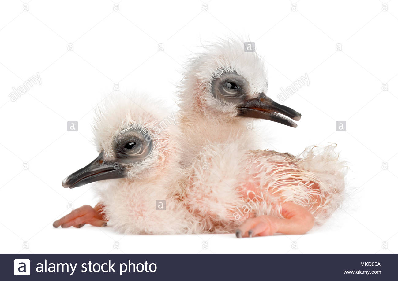 Madagascar Ibis, (Lophotibis cristata), also known as the Madagascar Crested Ibis, White, winged Ibis or Crested Wood Ibis, 1 and 2 days old, sitting against white background Mulhouse Zoological and Botanical Park, France - Stock Image