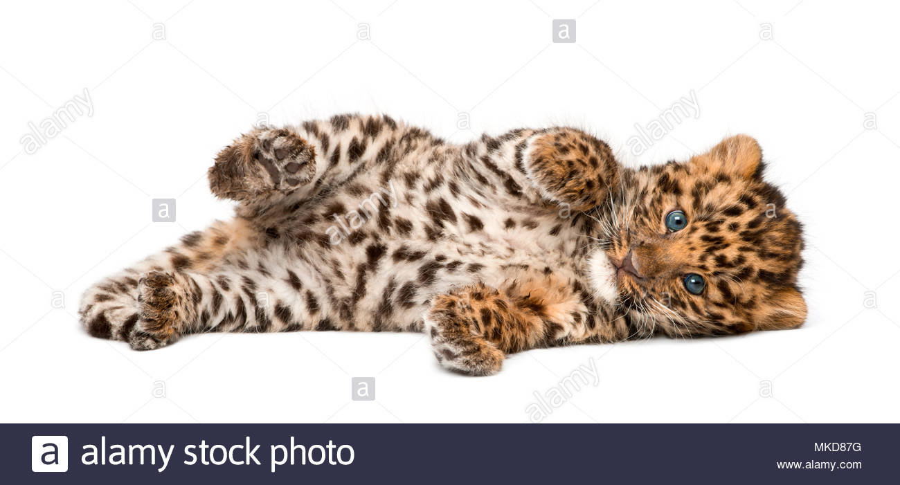Amur leopard cub, (Panthera pardus orientalis), 9 weeks old, lying against white background Mulhouse Zoological and Botanical Park, France - Stock Image