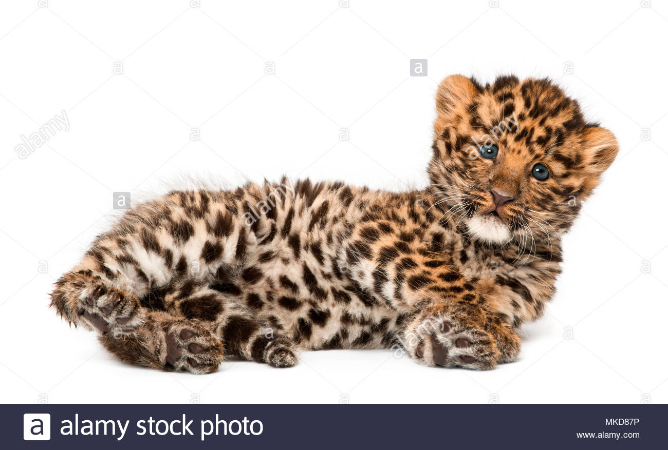 Amur leopard cub, Panthera pardus orientalis, 9 weeks old, lying against white background Mulhouse Zoological and Botanical Park, France - Stock Image
