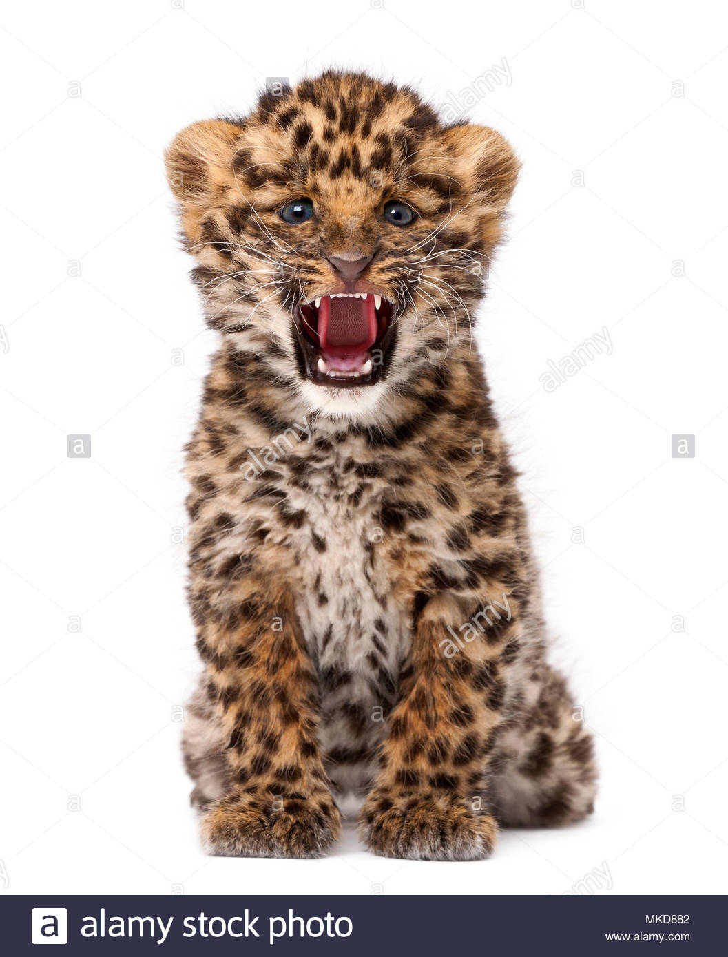 Amur leopard cub, (Panthera pardus orientalis), 9 weeks old, roaring against white background Mulhouse Zoological and Botanical Park, France - Stock Image