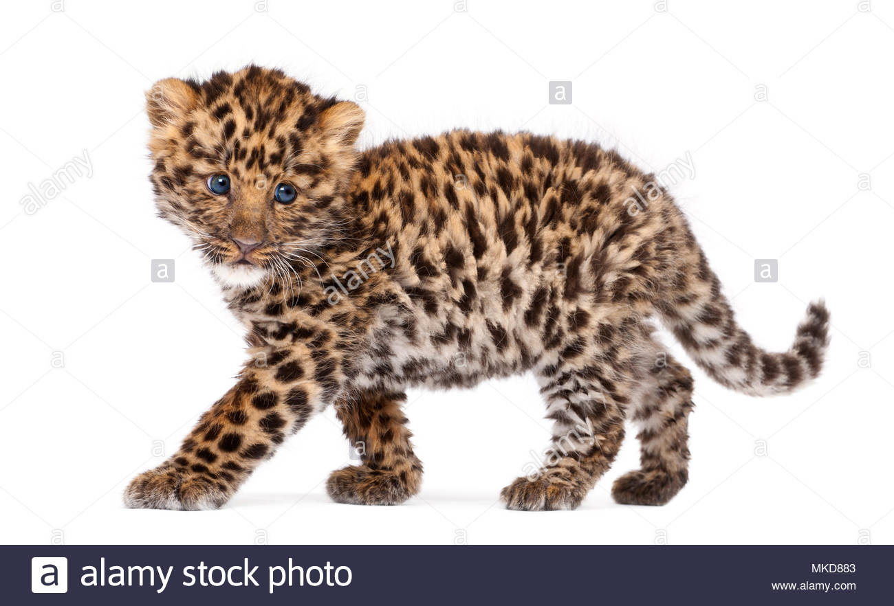 Amur leopard cub, (Panthera pardus orientalis), 9 weeks old, walking against white background Mulhouse Zoological and Botanical Park, France - Stock Image